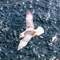Marine Surveys, including seabirds and marine mammals are a Cork Ecology speciality